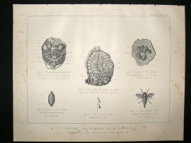 Miles Practical Farriery C1875 Antique Print. Anatomy, The Abdominal Viscera, etc